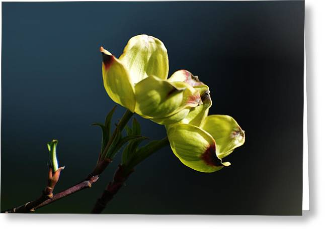 Early Dogwood Blossoms Greeting Card