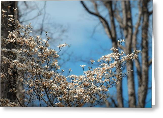 Early Dogwood Greeting Card by James Barber