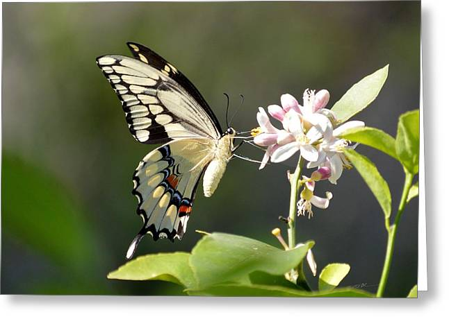Early Lemonade Giant Butterfly Greeting Card