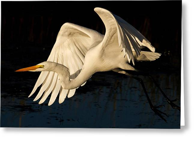 Early Light Egret Greeting Card