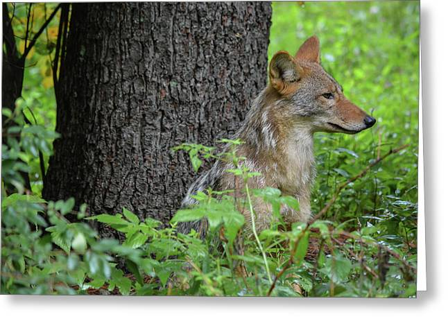 Early Morning Coyote In Maine Greeting Card