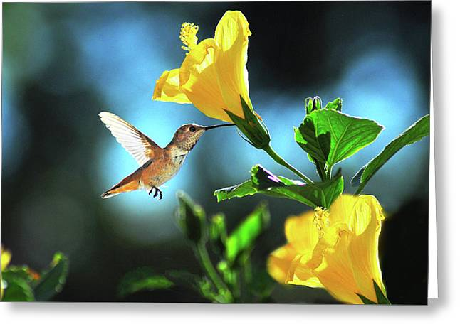 Early Morning Hummer Greeting Card by Lynn Bauer