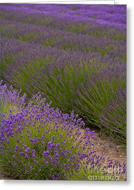 Early Morning Lavender Greeting Card by Mike Reid