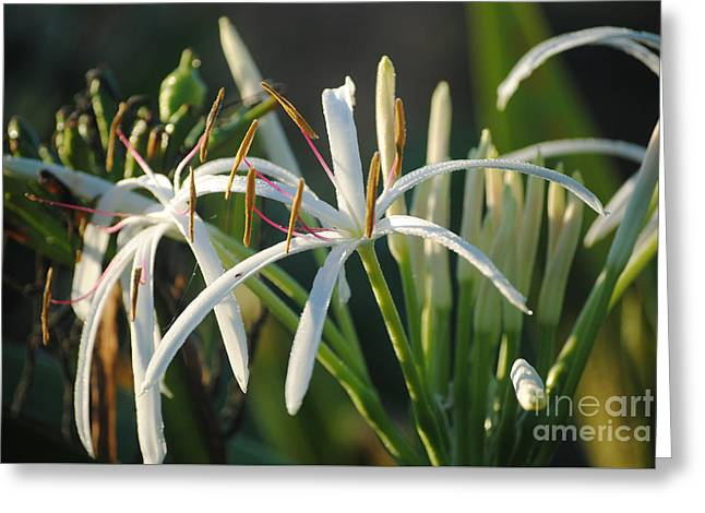 Early Morning Lily Greeting Card