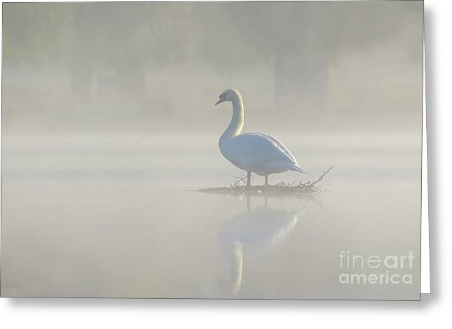 Early Morning Mute Swan - Cygnus Olor - On Serene, Misty Pond Greeting Card