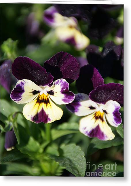 Early Morning Pansies Greeting Card