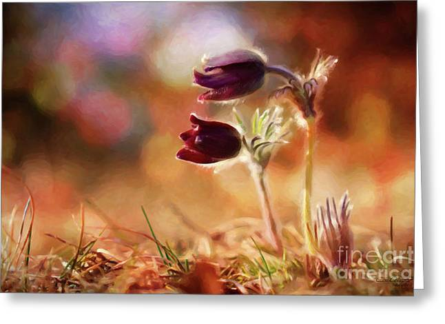 Early Morning Purple Pasque Greeting Card