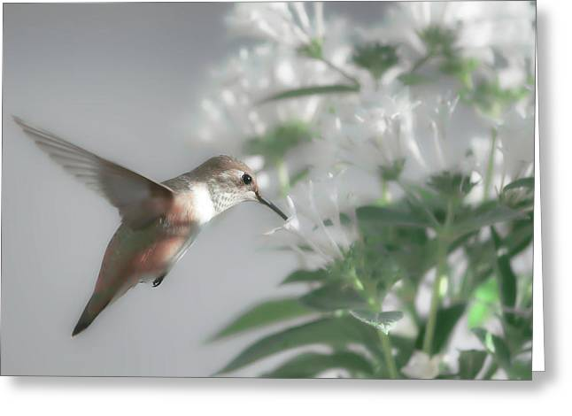 Early Morning Rufous Greeting Card