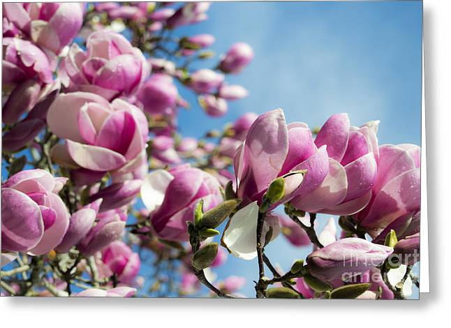Early Spring Magnolia Greeting Card