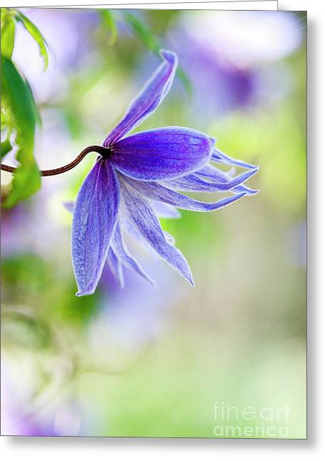 Early Springs Blues Greeting Card
