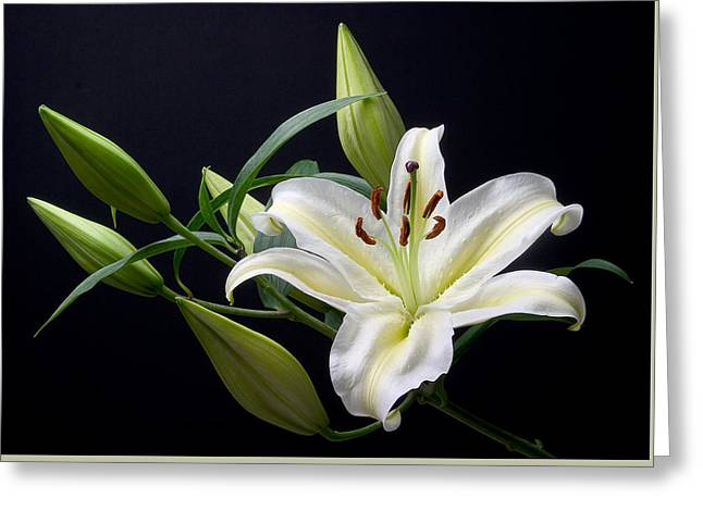 Easter Lily 3 Greeting Card by Peter OReilly