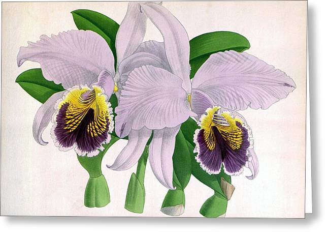 Easter Orchid, C. Mossiae Decora, 1891 Greeting Card by Biodiversity Heritage Library