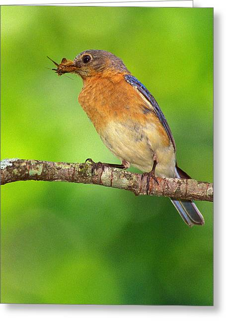 Easterm Bluebird With Skipper Butterfly In Beak Greeting Card by Alan Lenk
