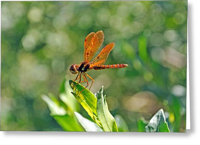 Eastern Amber Wing Dragonfly Greeting Card by Kenneth Albin