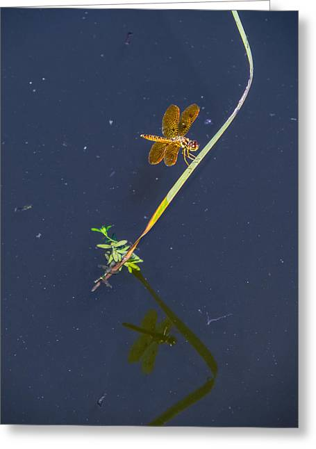 Eastern Amberwing Greeting Card by Zina Stromberg