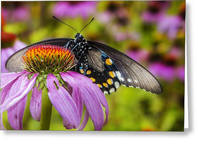 Greeting Card featuring the photograph Eastern Black Swallowtail Butterfly by Ken Barrett