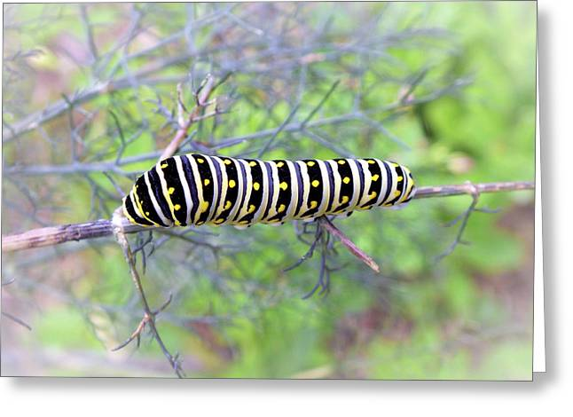 Eastern Black Swallowtail Caterpillar  Greeting Card