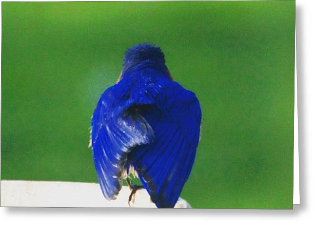 Eastern Bluebird. #birds #birding Greeting Card