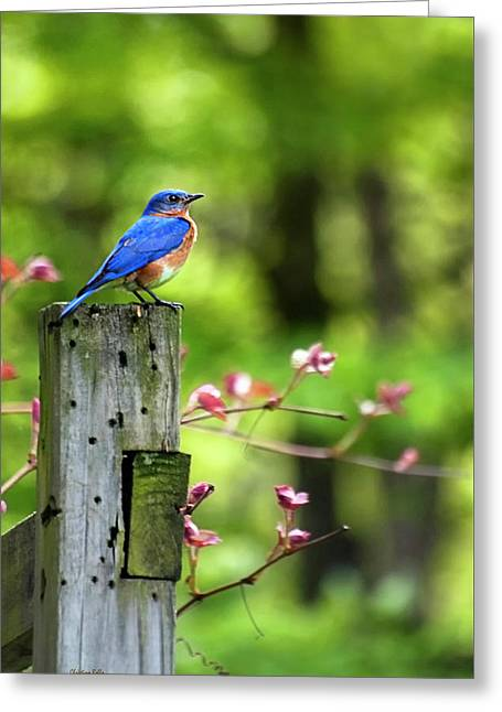 Eastern Bluebird Greeting Card by Christina Rollo