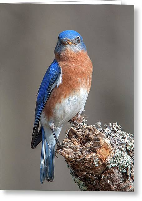 Eastern Bluebird Dsb0300 Greeting Card