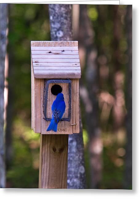 Eastern Bluebird Entering Home Greeting Card by Douglas Barnett