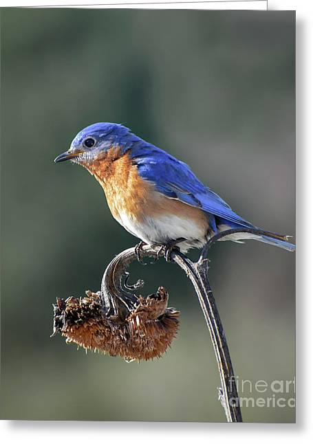 Eastern Bluebird In Spring Greeting Card