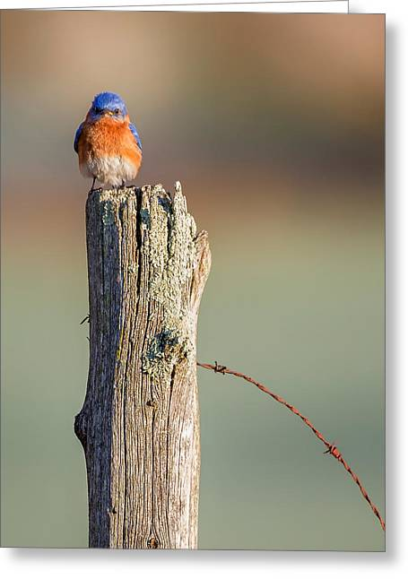 Greeting Card featuring the photograph Eastern Bluebird Portrait by Bill Wakeley