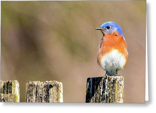 Eastern Bluebird Greeting Card by Sumoflam Photography