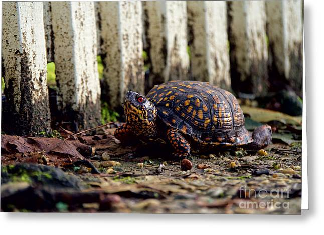 Eastern Box Turtle Greeting Card by Rachel Morrison