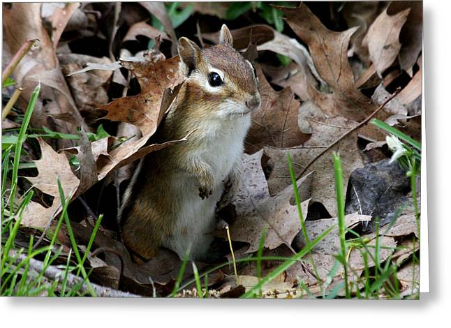 Eastern Chipmunk Greeting Card by Doris Potter