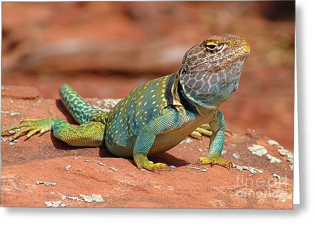 Eastern Collared Lizard Greeting Card by Laura Brightwood