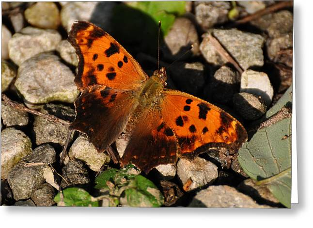 Eastern Comma Butterfly Greeting Card by Chris Flees