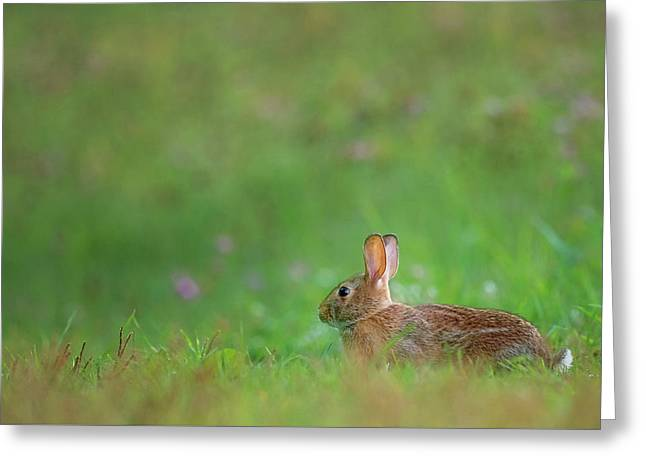 Eastern Cottontail 2016 Greeting Card