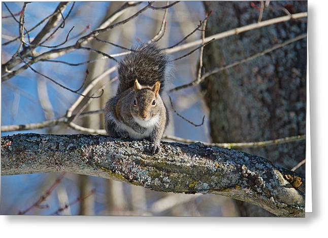 Eastern Gray Squirrel Greeting Card by Michael Peychich