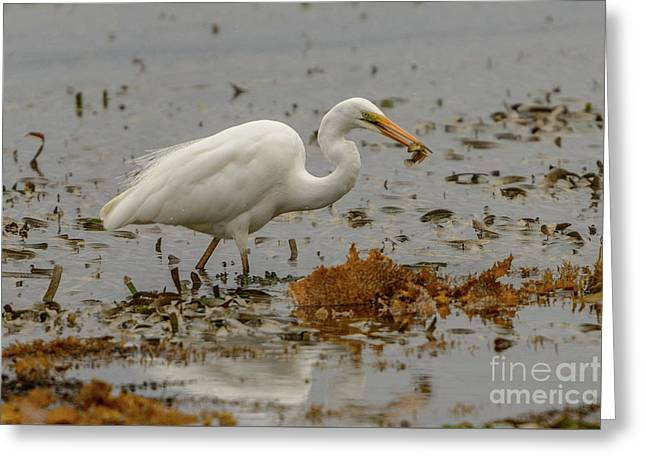 Eastern Great Egret 10 Greeting Card