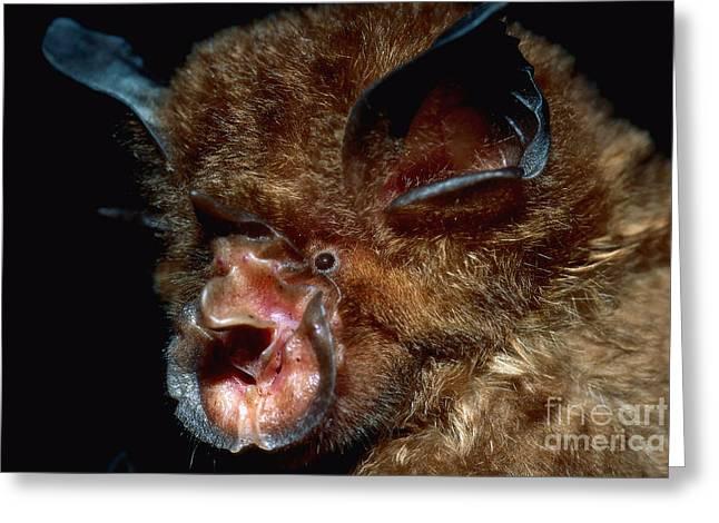 Eastern Horseshoe Bat Greeting Card