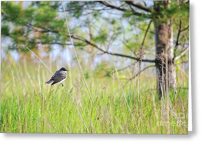 Eastern Kingbird Greeting Card by Charline Xia