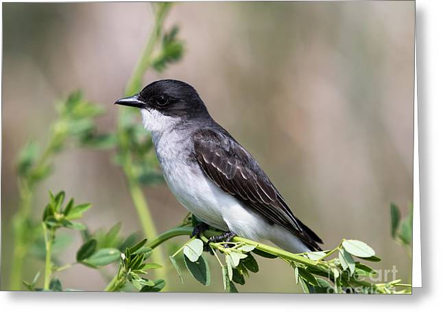 Eastern Kingbird Greeting Card
