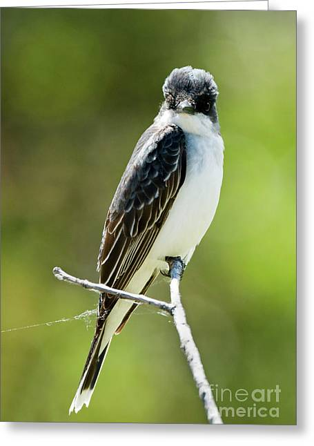 Eastern Kingbird Stare Greeting Card by Mike Dawson