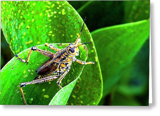 Eastern Lubber Grasshopper Greeting Card by Norman Johnson