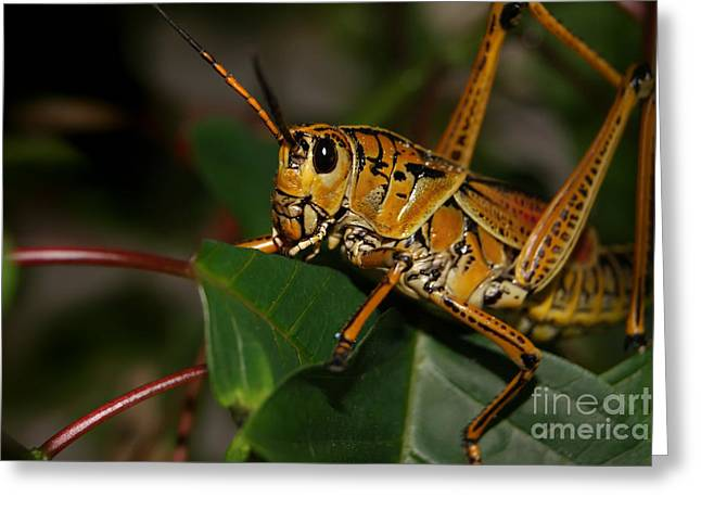 Eastern Lubber Grasshopper Greeting Card by Olga Hamilton