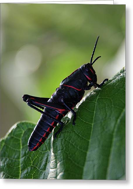 Eastern Lubber Grasshopper Greeting Card by Richard Rizzo
