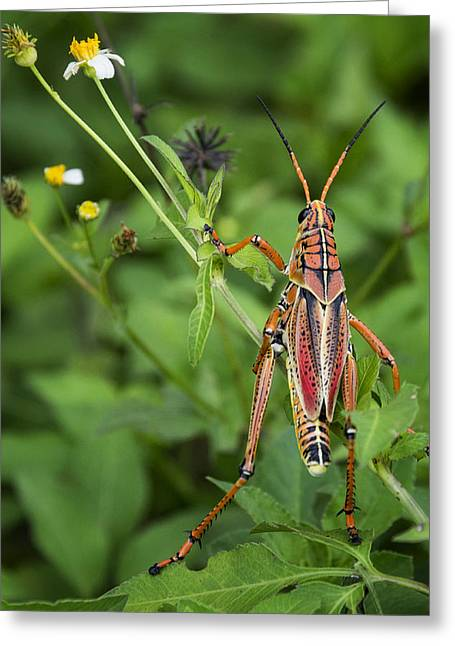 Eastern Lubber Grasshopper  Greeting Card by Saija  Lehtonen
