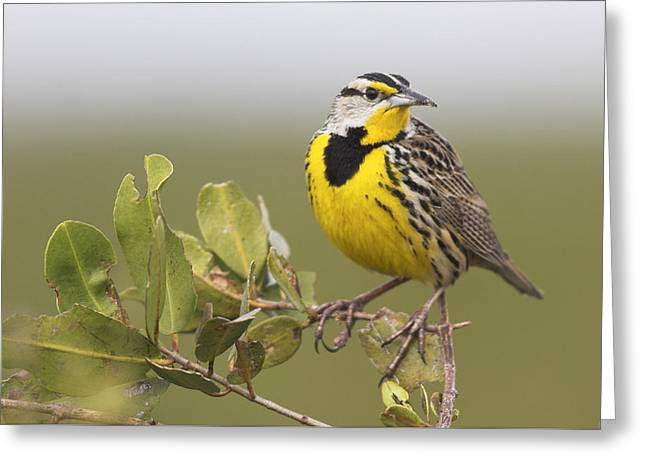 Eastern Meadowlark  Greeting Card by Birds Only