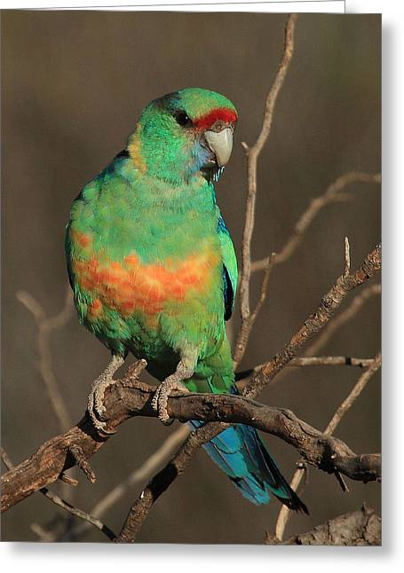 Eastern Or Mallee Ringneck B Greeting Card by Tony Brown