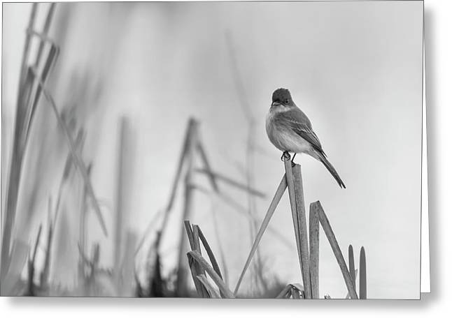 Eastern Phoebe 2017 Greeting Card by Thomas Young