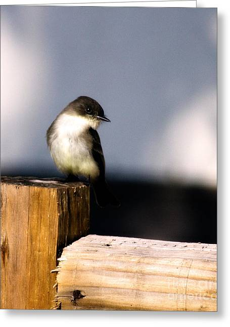 Phoebe Greeting Cards - Eastern Phoebe Greeting Card by Lana Trussell
