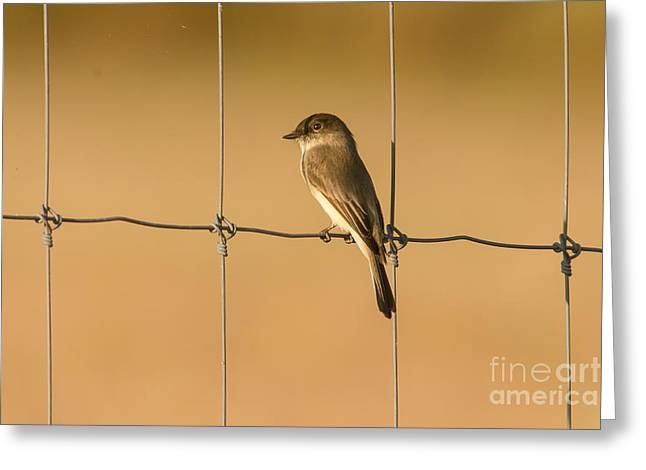Eastern Phoebe On Phence Greeting Card