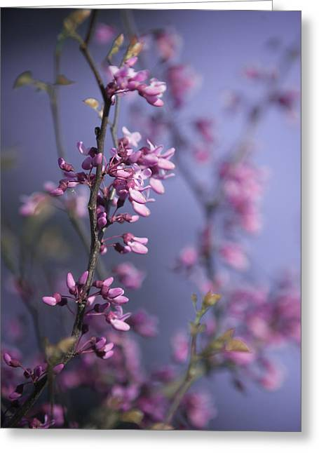 Eastern Redbud Greeting Card by Pamela Hagedoorn