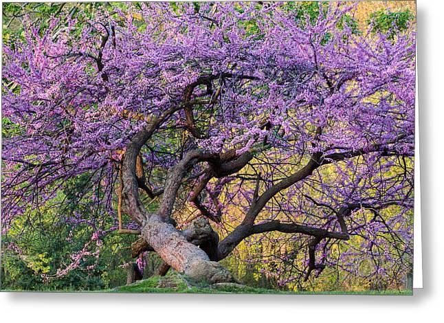 Eastern Redbud Arlington Virginia Spring Bloom Greeting Card by Mark VanDyke